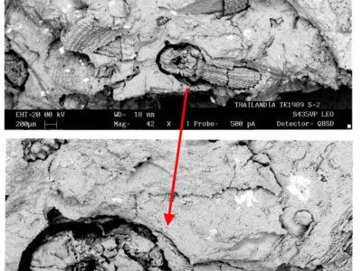 Fig. 9 Cariossidi di riso domestico (Oryza sativa) nell'impasto ceramico di un vaso funerario con decoro geometrico dipinto in rosso in immagini da SEM Leo 435 (Servizio di Bioarcheologia e Microscopia elettronica del Museo Nazionale d'Arte Orientale 'G. Tucci').